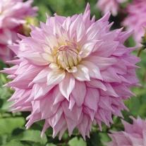 Dahlia (Decorative) Sir Alf Ramsey Plants