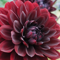 Dahlia Arabian Night Tubers