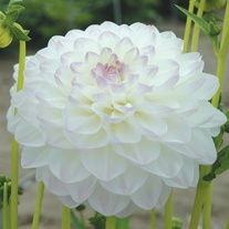 Dahlia (Decorative) Eveline Plants