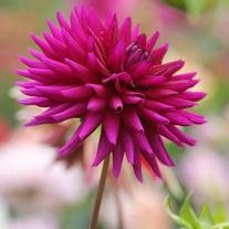Dahlia (Cactus) Ambition Plants