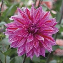 Dahlia Babylon Lilac Gevlamd Tubers