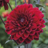 Dahlia (Decorative) Karma Chocolate AGM Plants