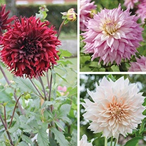 Dahlia Dinner Plate Tuber Collection