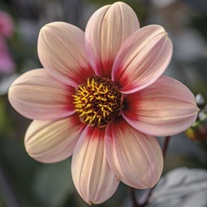 Dahlia Happy Single Kiss