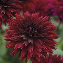 Dahlia (Decorative) Black Touch Plants
