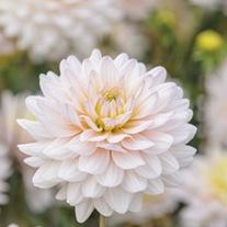 Dahlia (Decorative) Diana's Memory Plants