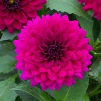 Dahlia Maxi Castilo Flower Plants