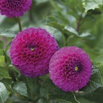 Dahlia (Ball) Addison June Plants