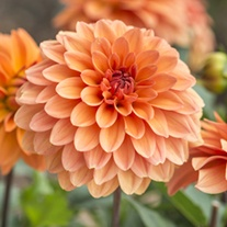 Dahlia (Decorative) Summer Flame Plants
