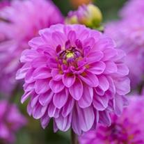 Dahlia (Decorative) Sweet Lady Plants