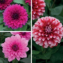 Dahlia Maxi Flower Plant Collection