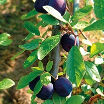 Damson Merryweather fruit tree