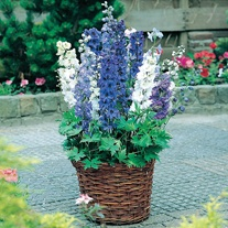 Delphinium Magic Fountains Mixed F1 plants