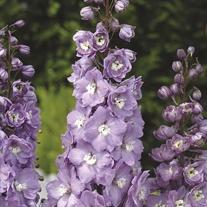 Delphinium Aurora F1 Lavender Flower Plants