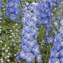 Delphinium Aurora F1 Light Blue Flower Plants