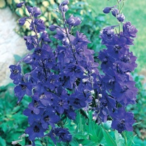 Delphinium Black Knight Plants