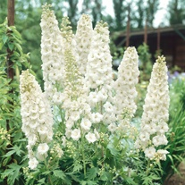 Delphinium Galahad Plants