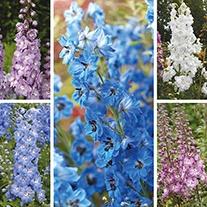 Delphinium Aurora F1 Flower Plant Collection