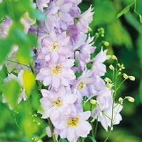 Delphinium Excalibur Lilac Rose Plants