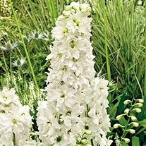 Delphinium Excalibur Pure White Plants