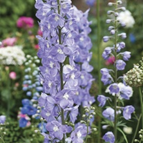 Delphinium Summer Skies Plants