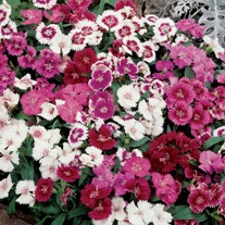 Dianthus Festival Mixed F1 Plants
