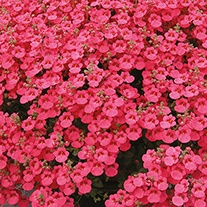 Diascia Little Dreamer Plants