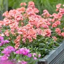Diascia Aurora Apricot Flower Plants