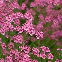Diascia personata Flower Plants