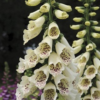 Digitalis Dalmatian Cream Flower Plants