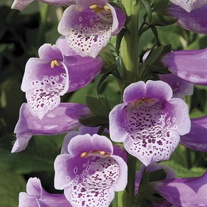 Digitalis Dalmatian Rose Flower Plants