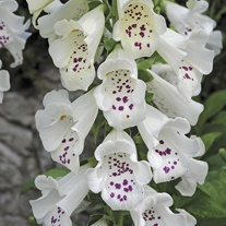 Digitalis Dalmatian White Flower Plants