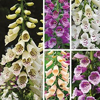 Digitalis Dalmatian Plant Flower Collection