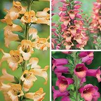 Digitalis Illumination Plant Collection