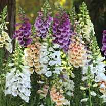 Digitalis Dalmatian Mixed F1 Plants