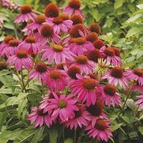 Echinacea PowWow Wild Berry Flower Plants