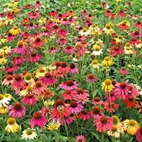 Echinacea Cheyenne Spirit F1 plants