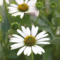 Echinacea Meditation White Plants