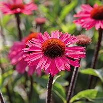 Echinacea Sensation Pink Plants