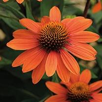 Echinacea Adobe Orange Plants