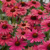 Echinacea Sweet Meadow Mama plants