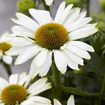 Echinacea Innocent Meadow Mama plants
