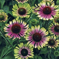 Echinacea Green Twister Plants