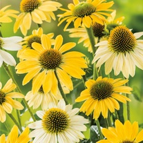 Echinacea purpurea Mellow Yellows Flower Plants