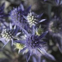 Eryngium planum Blue Hobbit Plants