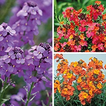 Erysimum Plant Collection