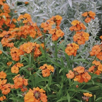 Erysimum Apricot Twist Flower Plants