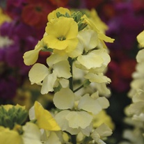 Erysimum Flower Plant Collection