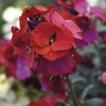 Erysimum Winter Passion Plants