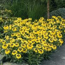 Erysimum Canaries Yellow plants